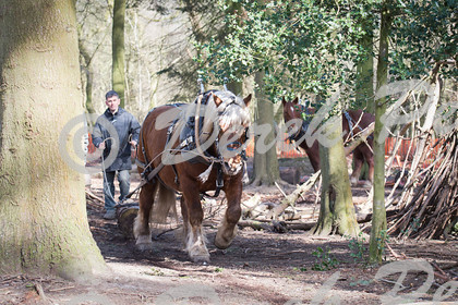DSC 0472   Wendover Woods Forest discovery Day - working horses pulling logs   Keywords: Horses Working Woods Wendover Forestry Logs Pulling