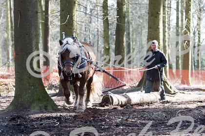 DSC 0453   Wendover Woods Forest discovery Day - working horses pulling logs   Keywords: Horses Working Woods Wendover Forestry Logs Pulling