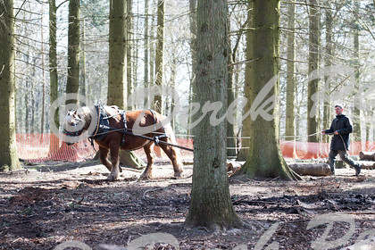 DSC 0450   Wendover Woods Forest discovery Day - working horses pulling logs   Keywords: Horses Working Woods Wendover Forestry Logs Pulling